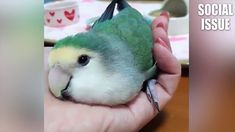 사람들이 앵무새를 키우는 이유 2018 웃긴영상 - 2탄 ㅋㅋㅋㅋㅋ