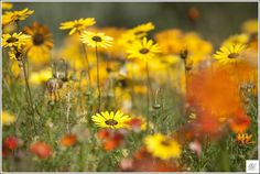 Sunny Petals Canvas Art, Canvas Prints, Fine Art Photography, Sally, Sunnies, Plants, Image, Art Photography, Photo Canvas Prints