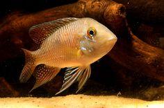 Adult male, Geophagus iporangensis, from the aquarium trade. © Hayath