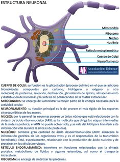 Infografía Neurociencias: Estructura neuronal.   Asociación Educar