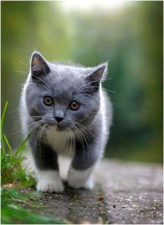 cute gray and white kitten