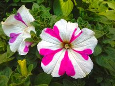 Petunia is the most popular flowers. These flowers are easy-to-grow plant and blooms in the summer and spring. The Petunias is very nice flower. Most Popular Flowers, Amazing Flowers, Petunia Flower, Large Flowers, Petunias, Growing Plants, Bloom, Things To Come, Wallpaper