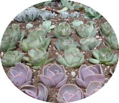 Pruning Succulents for Propagation