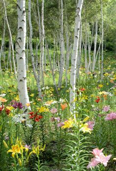 Day lilies dancing under a grove of birches. DIY you'll enjoy searching  through the many varieties of day lilies. Find more interesting DIY Landscaping ideas and tips subscribe to email list today. Click here! https://forms.aweber.com/form/75/1651722375.htm