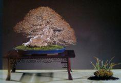 Acer buergeranium - Bonsai