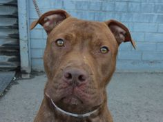 TO BE DESTROYED 12/18/13  Brklyn Ctr  P EMINEM  A0986679  Male br brindle & white pit mix 1 YEAR 6 MTHS STRAY on 12/05/2013  Sits quietly and patiently. He seems very house trained. VERY SWEET!!  Knows some commands.Very attentive and stays right at your side when walked on a harness. Loves to be pet and is very affectionate - loves to give long-lasting hugs! A gentle, well-behaved boy...he's sort of an under-the-radar kind of guy, but notice him and you'll strike gold!!