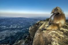 Perfect spot: A Gelada baboon sits quietly looking out over the spectacular Simien Mountain range in Ethiopia as it waits for the sun to com...