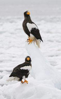 Raptor on a ice float. - Steller's Sea Eagles - title 'The Boss On Top' - by Harry Eggens
