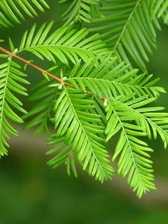 Dawn Redwood Tree - Metasequoia - Outside or Bonsai - Quart Pot Redwood Bonsai, Sequoia Sempervirens, Privacy Trees, Tree Seedlings, Conifer Trees, Evergreen Trees, Flowering Trees, Fast Growing Trees, Grow Kit