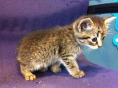 Manx Babies: Tiny & Tim, 2 m left is an adoptable Tabby - Brown Cat in Cincinnati, OH. Hooray! I have just arrived in rescue and am receiving all the vet care I deserve. After that, I know it won't ta...