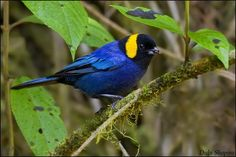 The Yellow-scarfed Tanager (Iridosornis reinhardti) is a species of bird in the Thraupidae family. It is found in forests in the Andean highlands in Peru. Different Birds, Kinds Of Birds, All Birds, Love Birds, Pretty Birds, Beautiful Birds, Animals Beautiful, Exotic Birds, Colorful Birds