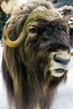 Musk ox, Cabelas, 365 photo project, Lisa on Location photography New Braunfels and San Antonio