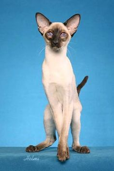 A seal point and a blue point siamese kitten meow cats for Siamese 9 electric motor