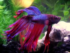 Some would claim it's the most lovely Most Beatiful Betta Fish in The World on the planet and we need to agree. [Read now]