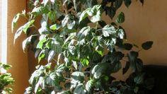 Kiinanruusu Hibiscus rosa-sinensis