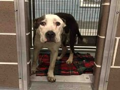My name is Moxie. I am described as a spayed female, gray and white Pit Bull Terrier mix.rnrnThe shelter staff think I am about 1 year and 1 month old.rnrnI have been at the shelter since Feb 04, 2017.rnrnI came in with a chip or tag. My predicted rescue date was Feb 11, 2017 but the date could have changed. Please contact CACC if you are interested in rescuing me.