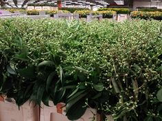 #Heptacodium 80cm; Available at www.barendsen.nl