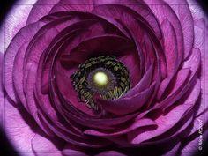 """Marimonia - Ranunculus asiaticus"" photo by Alicia RG, ""Licya"""