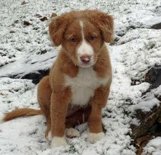 Finn the Nova Scotia Duck Tolling Retriever Puppy Dogs #Toiller