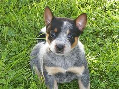 Australian Cattle Dog Puppies Pet Dog Puppies For Sale in NY   Want Ad Digest Classified Ads