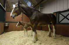 budweiser clydesdale commercials | jeff roberson associated press