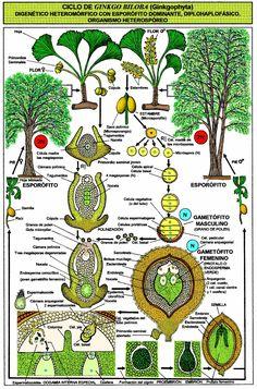 El Ginkgo biloba previene la arterioesclerosis, la demencia, las varices o las jaquecas