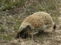 It seems the more we look, the more we find when it comes to the impacts of invasive pests. European hedgehogs are no exception. Vegetable Garden Planning, Garden Pests, Pest Control, Predator, Conservation, Nativity, Things To Come, Creatures, Hedgehogs