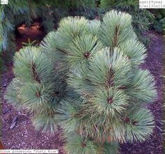 Pinus ponderosa 'Dusty Blue'