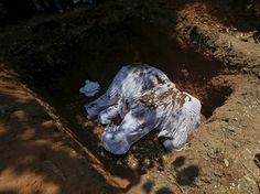 {English below} L'éléphant Hemantha est enterré lors d'une cérémonie bouddhiste dans un temple de Colombo le 15 mars. L'animal est mort des suite de blessures à ses pieds malgré un traitement médical depuis 6 mois. Il était connu pour participer aux manifestations et parades tenues par le Temple. Il était agé de 23 ans. #Photo: Dinuka Liyanawatte @reuters  A covered dead body of #elephant Hemantha is seen during a religious #ceremony at a #Buddhist temple in #Colombo March 15 2016. Elephant…