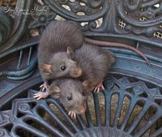 Silvermane girls #aww #cute #rat #cuterats #ratsofpinterest #cuddle #fluffy #animals #pets #bestfriend #ittssofluffy #boopthesnoot