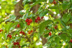 Húsos Som Cornus Mas, Fruit
