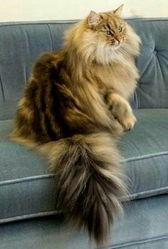 NOT SURE IF THIS IS A MAINE COON OR A PERSIAN LONGHAIR.