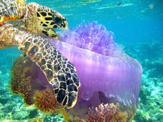 A sea turtle eating a purple jellyfish