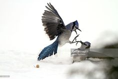 Photo : Two blue kays fighting over a nut