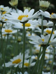 How to divide and transplant Shasta daisies
