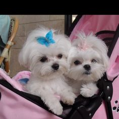 Teacup Maltese they are sooo cute!!!!!! #teacupdogslist #teacupdogs…