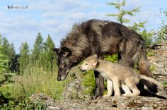 Baby Wolf and its mom. #Wildlife #photography #wolf