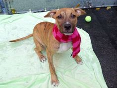 TO BE DESTROYED - 10/31/14 Manhattan Center - P ** PUPPY ALERT **  My name is DELILAH. My Animal ID # is A1018453. I am a female br brindle and white pit bull mix. The shelter thinks I am about 5 MONTHS old.  I came in the shelter as a STRAY on 10/23/2014 from NY 11206, owner surrender reason stated was ALLERGIES.