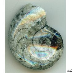Goniatite Fossil ancient fossil nautilus fossil by BeadCasita, $7.00