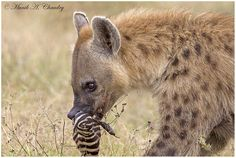 This Spotted Hyena must have come across the carcass of a Zebra, which the Lion pride feasted on all night, early in the morning in Lake Nakuru National Park, Kenya. Hyena's are known to have the strongest jaws in the african jungle and can easily crunch through the bones of the bigger animals like elephants and buffalo's thus this Zebra's feet mush have been an easy meal for it!