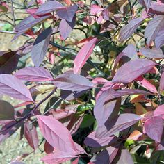 Virginia Sweetspire (Itea virginica) - full sun to partial shade - deciduous - Habit: Grows 4 feet tall and 5 feet wide; spreading Culture: Prefers full sun to partial shade and fertile, moist but well-drained garden loam