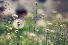 Shepherd's purse - This reminds me of my childhood. And how exciting it was to wish upon a dandelion. Dandelion Wish, Dandelion Flower, Dandelion Seeds, Dreamy Photography, Bokeh Photography, Green Farm, Summer Memories, My Secret Garden, Make A Wish