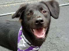 SAFE 5-28-2015 --- Manhattan Center LEO – A1036550 NEUTERED MALE, BLACK, LABRADOR RETR MIX, 1 yr STRAY – ONHOLDHERE, HOLD FOR ID Reason STRAY Intake condition UNSPECIFIE Intake Date 05/16/2015