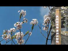 石割桜(2014_4_22 撮影