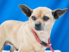 A5050840 Alfie is a dynamic 8-year-old red-and-cream male Chihuahua who came to the Baldwin Park Animal Care Center on April 17th as a stray from Baldwin Park. Weighing 13 lbs, Alfie struts politely on leash, is friendly with other dogs, and loves, loves, loves people. He?ll happily survey the world from the comfort of a lap--and he gives lots of kisses! This confident and cheerful little guy is a real man-about-town. With his solid build, awesome leash skills, and eagerness to take on the…