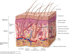 7 Layers Of Skin Diagram Volvo Wiring Diagrams V40 Show Pictures Integumentary System This Clearly Shows About The Our Largest Organ Bioelementis Human Eye