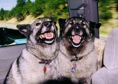 Happy Dogs! (Norwegian Elkhounds)