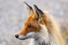Red fox. Loving this one's pointy little muzzle and distinctive 'mask'. :)