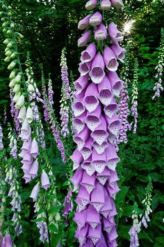I luv Foxgloves. I planted some last spring and they died by summer. Didn't plant it deep enough.