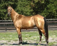 Akhal-Teke horses from Turkmenistan, a rare breed known for their sheen and speed.